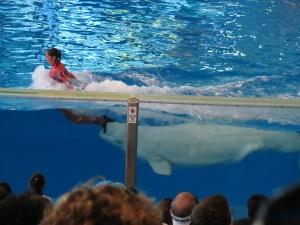 Azul show - beluga whales