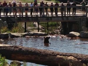 Grizzly bear having a swim