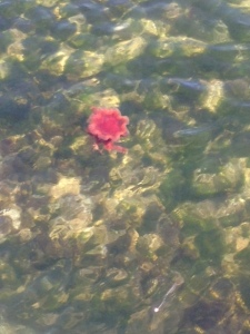 Big red jellyfish in the sea